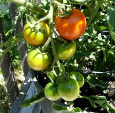 Follow these quick tips for growing tomatoes successfully in containers.