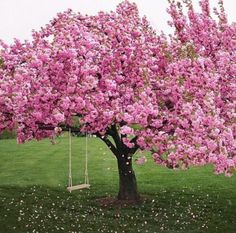pink, tree, and flowers image Beautiful Landscapes, Beautiful Gardens, Beautiful Flowers, Beautiful Places, Cherry Blossom Tree, Blossom Trees, Pink Blossom, Spring Scenery, Jolie Photo