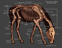 Horse Skeleton by Tikall on DeviantArt Horse Skeleton by Tikall on DeviantArt - Art Of Equitation Horse Bones, Animal Bones, Skeleton Anatomy, Dog Skeleton, Horse Anatomy, Animal Anatomy, Horse Care Tips, Horse Facts, Horse Camp