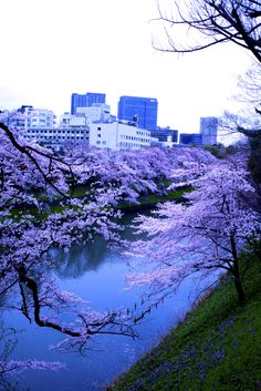 Chidorigafuchi  #2  Tokyo Sakura Sakura, Nature Pictures, Tokyo, Scenery, Album, Eyes, Paisajes, Landscape, Tokyo Japan