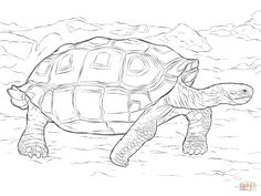 Realistic Galapagos Tortoise coloring page | Free Printable ...