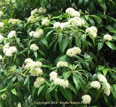 Backhousia Citriodora - Lemon Ironwood - Lemon Myrtle - Koala Native Plants