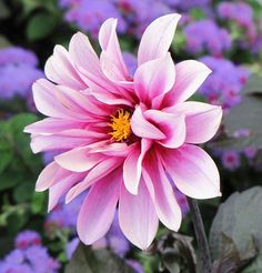 dreaming in pink flower