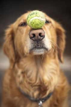 The great balancing act...  Click on this image to find even more beautiful #GoldenRetriever pictures