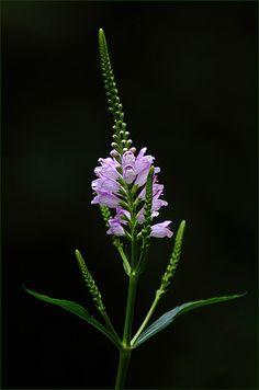 False Dragonhead / Gelenkblume (Physostegia virginiana)  in our garden