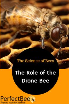 The drone bee has a distinct and important role in the colony, but faces a tough end. If he mates, he dies. If he is around approaching winter, he is kicked out.