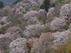 こんな千本桜を直に観てみたい。  吉野山(下千本)_2013yaotomi_2s.jpg