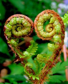 fern heart, ready to unfurl into its glorious lacy green glory. I Love Heart, With All My Heart, Happy Heart, Heart In Nature, Heart Art, Yoga Studio Design, In Natura, Foto Art, Love Symbols