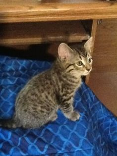 Bengal Cats For Sale On Craigslist