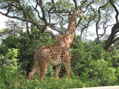 Giraffe!!!!