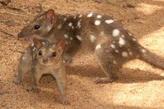 Artenschwund in Australien: Füchse und Katzen rotten heimische Säugetiere aus