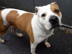 SUPER URGENT 03/09/15 Manhattan Center   CHASEY - A1029839  FEMALE, WHITE / BROWN, AM PIT BULL TER MIX, 8 yrs STRAY - EVALUATE, NO HOLD Reason STRAY  Intake condition EXAM REQ Intake Date 03/09/2015, From NY 10032, DueOut Date 03/12/2015, I came in with Group/Litter #K15-006290.  https://www.facebook.com/Urgentdeathrowdogs/photos/a.617942388218644.1073741870.152876678058553/975440809135465/?type=3&theater