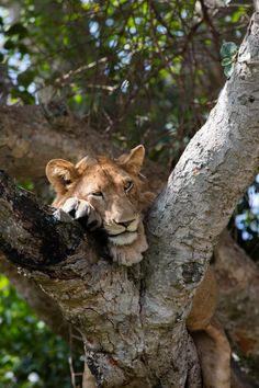 The tree-climbing lions of Queen Elizabeth National Park, Uganda. Click here to find out how you can see them on your safari.