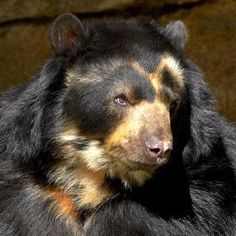 Andean (Spectacled) Bear | San Diego Zoo Animals