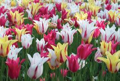 Tulip Hybrida Dance Fever Collection from Jung Seed - Year of the Tulip - National Garden Bureau