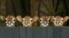 Baby cows (Or Calves, as we ranchers know them!)