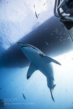 Lord of the Oceans by Paul Cangemi Orcas, Save The Sharks, Shark Photos, Shark Art, Water Animals, Great White Shark, Ocean Creatures, Shark Week, Underwater World