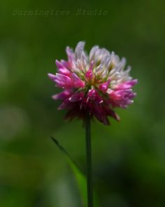 "Clover - my favorite poem  ""The pedigree of honey does not concern the bee....  a clover anytime to him is aristocracy.""                           --Emily Dickenson"
