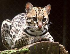 Cunaguaro. (Leopardus pardalis). Es una especie en Venezuela totalmente vulnerable que va en vías de extinción.  Este felino de mediano tamaño se le puede observar en los senderos estrechos en zonas de bosques poco intervenidos, así como también en espinares, cujizales, sabanas, bosques deciduos y semideciduos, bosques de galería o de pantanos. Viven una vida solitaria, moviéndose de noche.