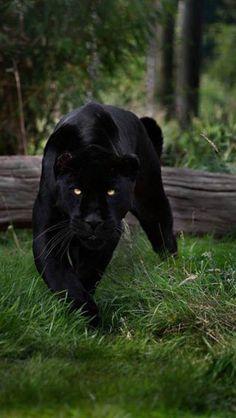 Stalking panther
