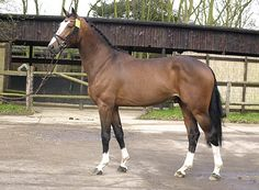 KWPN mare Vuelta (Olympic Ahorn X Vuelta) to be bred to Balou du Rouet (pictured above) in 2013