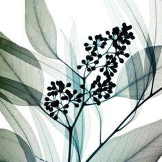 Eucalyptus by Steven N. Meyers
