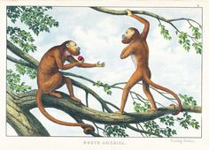 Antique print: picture of The Red Howling Monkey - South America