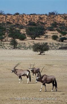 Gemsbok, Oryx gazella, gazella, Kgalagadi Transfrontier Park, Northern Cape, South Africa