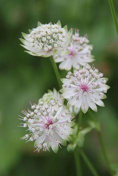 Shade plant. Astrantita Major (stjerneskjerm)