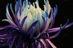chrysanthemum in rich purples and many blues ascending into a white centre of petals.chrysanthemum in rich purples and many blues ascending into a white centre of petals. All Nature, Flowers Nature, My Flower, Flower Art, Beautiful Flowers, Birth Flower, Beautiful Boys, Dahlia, Peony