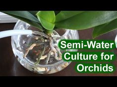 Full water culture orchid grows 2 spikes & fat roots - YouTube