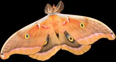 Google Image Result for http://countrynaturals.com/Images/moth.jpg