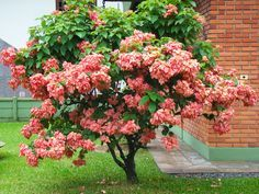 Mussaenda rosa. - Buscar con Google Flowering Shrubs, Trees And Shrubs, Trees To Plant, Gardening Zones, Container Gardening, Tropical Garden, Tropical Plants, Identify Plant, Unusual Plants
