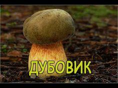 ГРИБ: ДУБОВИК. Boletus Luridus - YouTube