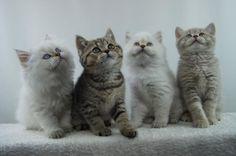 British Shorthair Kittens | Cattery Tayside | The Netherlands | www.kittentekoop.nl