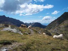 Belledonne - Moutons et patous au Col de la Pra