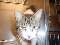 Elmo - URGENT!! is an adoptable Domestic Short Hair Cat in Midland, MI. 2 year old very nice boy with lotsa toes! Includes neuter, vaccines, and microchip. Come to 4371 E Ashman Midland MI 48642 989...