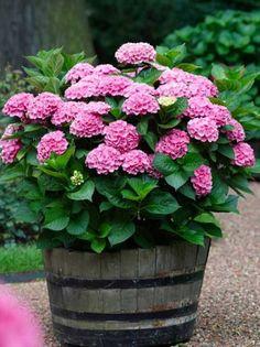Container Flowers, Container Plants, Container Gardening, Gardening Tips, Hydrangea Garden, Pink Hydrangea, Hydrangeas, Hydrangea Potted, Hydrangea Landscaping