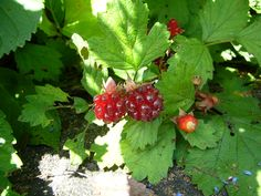 NOICHIGO wild berries 1 Berries, Strawberry, Leaves, Fruit, Flowers, The Fruit, Floral, Bury, Strawberry Fruit