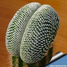 "Mammillaria pectinifera forma cristata (Syn: Solisia pectinata ""cristata"")"