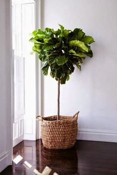 Fiddle Leaf Fig Tree Standard (Ficus lyrata) (Size: to Tall) Plantas Indoor, Fiddle Leaf Fig Tree, Decoration Plante, Interior Plants, Tree Interior, Natural Home Decor, Green Plants, Faux Plants, Colorful Plants