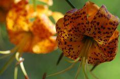 Humboldt Lily (Lilium humboldtii ssp. ocellatum), another Southern California native