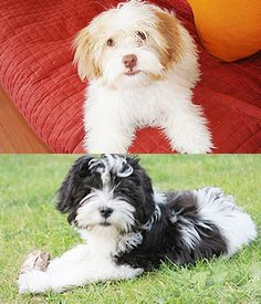 Kyi-Leo. Get a Free Consultation for your #small #dog #breed from our Friends at Nature's Select http://naturalpetfooddelivery.com/nsd/usa/free-consultation/