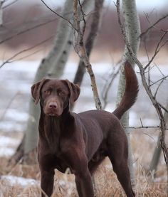 great looking lab
