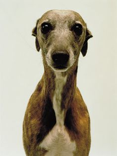 Beautiful Whippet face