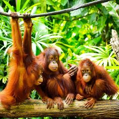 Did you know the word 'orangutan' translates to 'man of the forest' and they can only be found in the jungles of Borneo and Sumatra. Meet these beautiful creatures when you join us in Borneo! Click the link for incentive details, . Animals And Pets, Baby Animals, Cute Animals, Bornean Orangutan, Singapore Zoo, Biomes, Fauna, Kuala Lumpur, Animals Beautiful