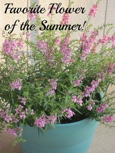 Favorite flower for containers. Very heat and drought tolerant...perfect for decks and patios without shade.