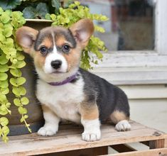 🌿💙 So #Cute, friendly and can't wait to meet you! #WelshCorgi pups are smart and love to play! With their sweet and unique personality, they are sure to fit right into your family. ▬▬▬▬▬▬▬▬▬▬▬▬▬▬▬▬▬▬▬ #Charming #PinterestPuppies #PuppiesOfPinterest #Puppy #Puppies #Pups #Pup #Funloving #Sweet #PuppyLove #Cuddly #Adorable #ForTheLoveOfADog #MansBestFriend #Animals #Dog #Pet #Pets #ChildrenFriendly #PuppyandChildren #ChildandPuppy #LancasterPuppies www.LancasterPuppies.com Corgi Puppies For Sale, Pembroke Welsh Corgi Puppies, Lancaster Puppies, Dog Sculpture, Cute Little Animals, Animals Dog, Mans Best Friend, Puppy Love, Cute Dogs