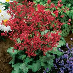 Buy Crimson Coral Bells at Michigan Bulb