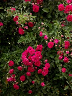 A cascade of bright pink miniature roses on Forsythia Hill #small #flower #nature